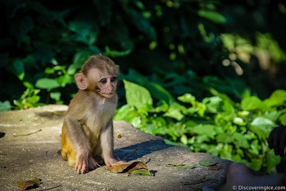 Cute-Baby-monkey-picture-Monkey-Temple-Swayambhunath-Kathmandu-Nepal