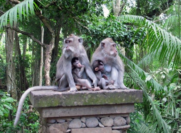 Taming a Fear of Bali's Sacred Monkeys
