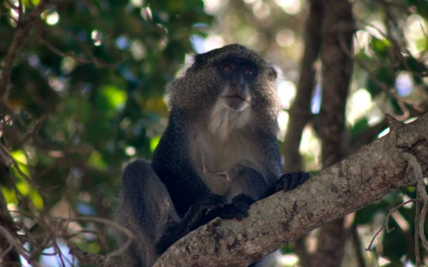 Samango monkey in iSimangaliso Wetland Park, South Africa