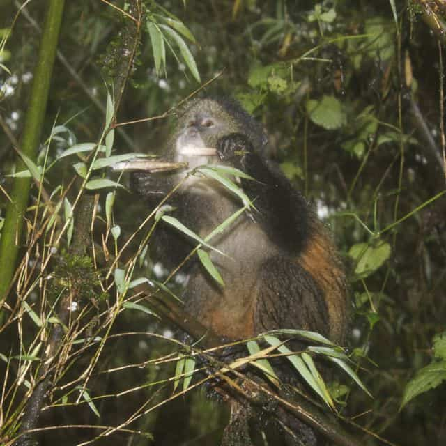 Golden monkey eating a bamboo shoot in Volcanos National Park, Rwanda