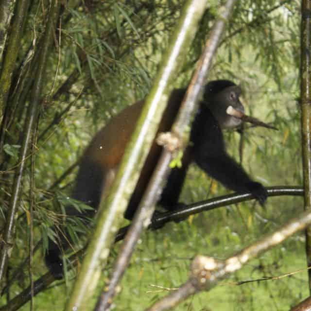Multi-tasking Golden monkey eating on the run in Volcanos National Park, Rwanda