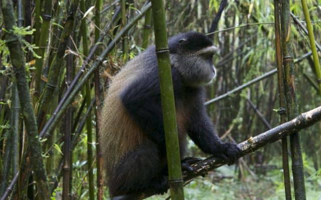 golden monkey side profile