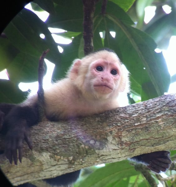 Monkeys in the Jungles of Costa Rica