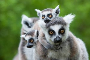 Ring-tailed lemur with her babies as seen during research