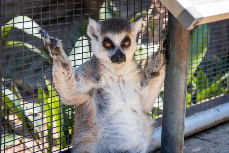 pet lemurs are never a good idea
