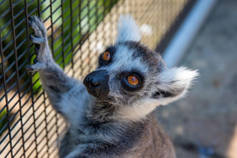 8 reasons not to get a pet lemur