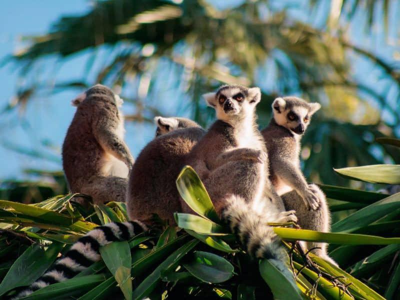 lemurs are social animals, having 1 pet lemur is very cruel and will result in abnormal behaviour