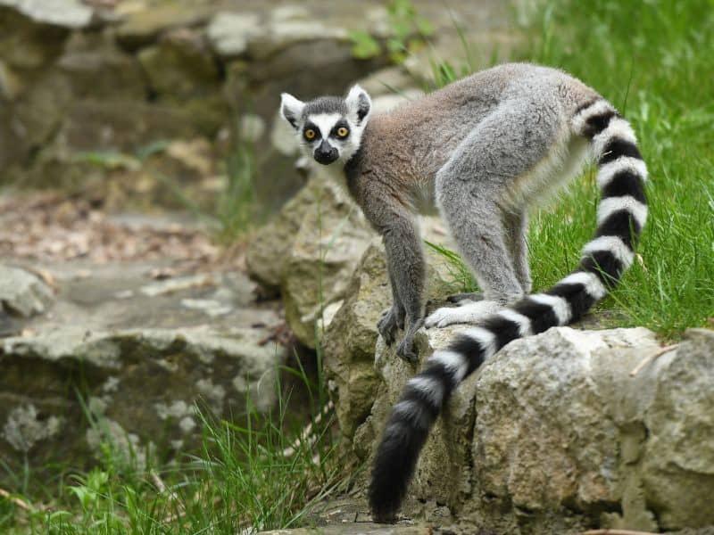 lemurs are noisy animals that don't make good pets