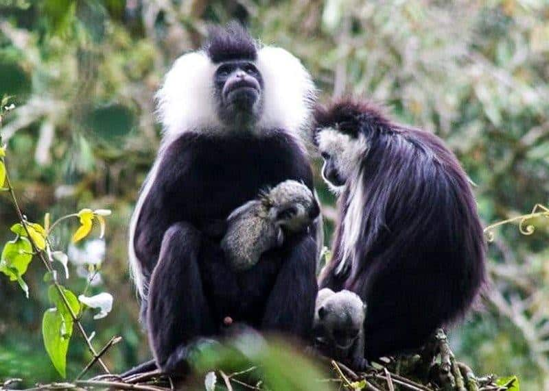 colobus monkeys with babys